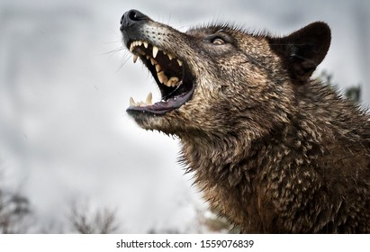 Wolf Growling and Fighting and Two Wolves Fighting