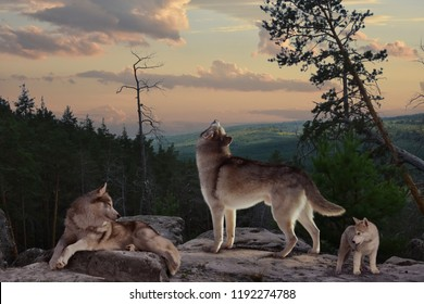 The wolf with his howl warns everyone that he protects the possessions of his family