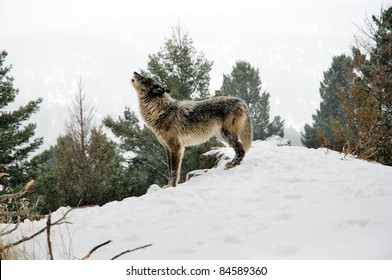 Wolf howling on snowy hill