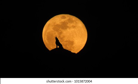Wolf howling at the super moon January 31st 2018