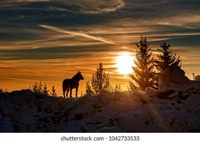 Wolf hunting in mountain, winter