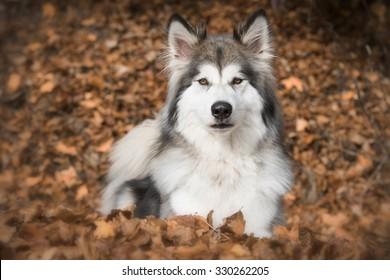 Wolf Hybrid