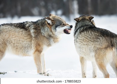 Wolf iin the cold snow.