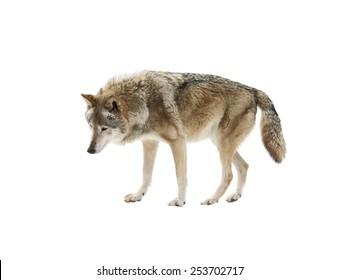 Wolf isolated on white background