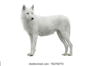 wolf isolated on a white background