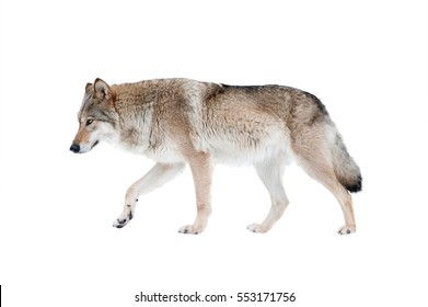 wolf isolated over a white background