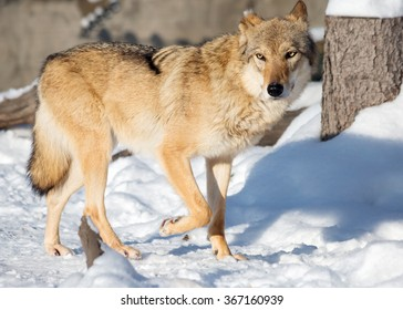 Wolf The wolfâ?? kind of predatory mammals