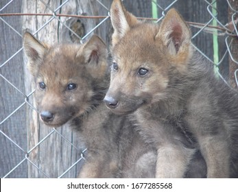 Wolf lair with young cub wolves in the summer wild forest