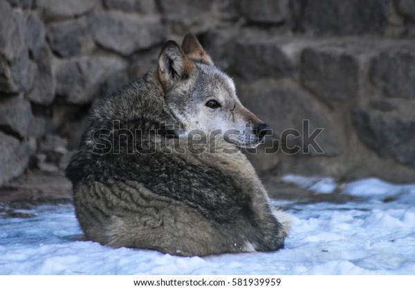 wolf laying