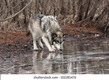 Wolf Licking a Frozen Lake