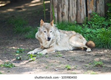 Wolf lying down on a rock.