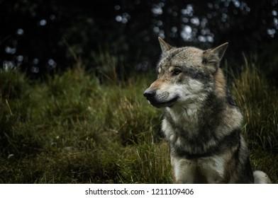 A wolf in a naturalistic landscape