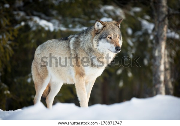 Wolf in a norwegian winter forest. Cold day, february.