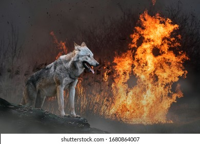 Wolf on a background of burning forest. Wild animal in the midst of fire and smoke
