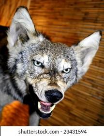 Wolf on brown background
