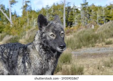A wolf on Vancouver Island's coastline