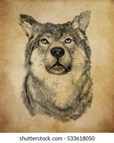 Wolf on vintage background. Illustration in draw, sketch style.
