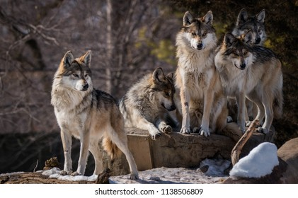 Wolf Pack Images Stock Photos Vectors Shutterstock