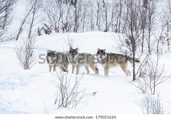 Wolf pack in a norwegian winter forest. Snowing.