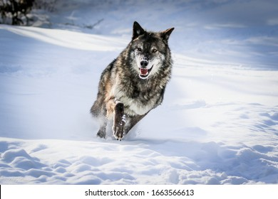 Wolf pack, wolves in winter snow