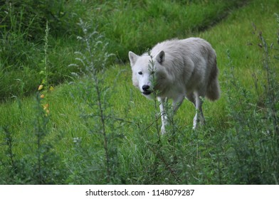 Wolf at park