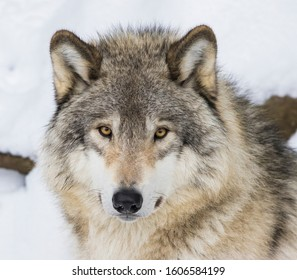 Wolf portrait. Northwestern wolf (Canis lupus occidentalis), also known as the Canadian timber wolf