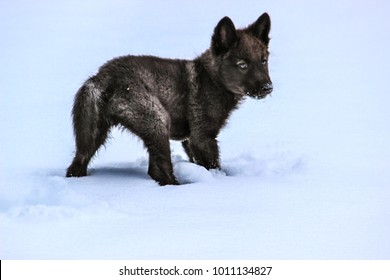 Wolf Pup Playing in the Snow