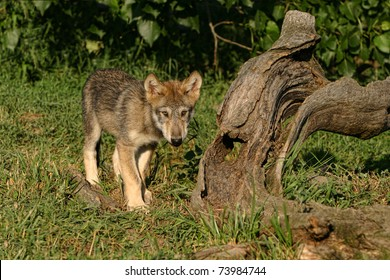 Wolf Pup in sunlight