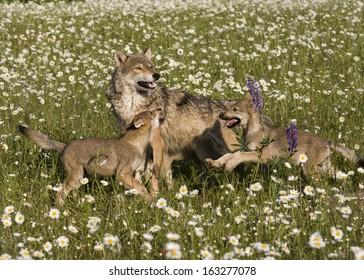 Wolf Puppy Running Through Daisies to Mom