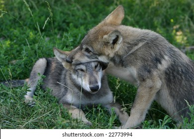 wolf pups playing
