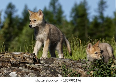 Wolf pups, in USA, North America