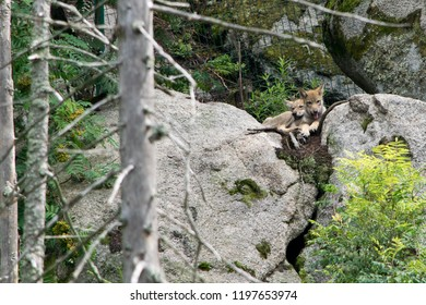 A wolf pups in the zoo. Bohemian Forest. Czech Republic.