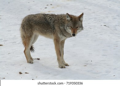 Wolf in Quebec. Canada, north America.