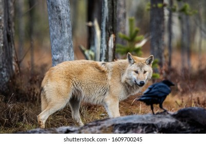 Wolf and raven. Eurasian wolf, also known as the gray or grey wolf also known as Timber wolf.  Scientific name: Canis lupus lupus. Natural habitat. Autumn forest.