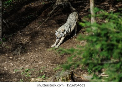 Wolf in a relaxed position, in the forest background. Close to wolf resting in natural environment. Close up portrait of a Timber wolf in the Canadian forest during the summer or fall season.