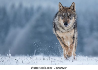 Wolf runnin in snow