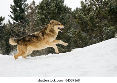 Wolf running on snowy hill