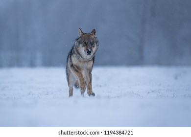 wolf running in snow, attractive scene with wolf in snow, winter landscape with wolf