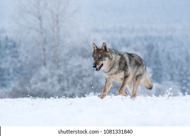 wolf running in snow, wolf in winter countryside,