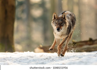 wolf is running very fast