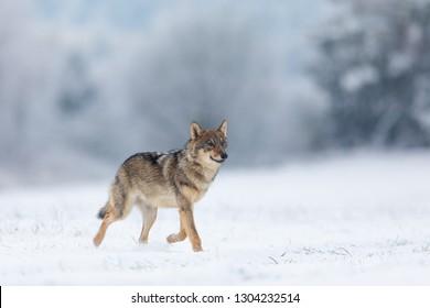 wolf running in winter landscape, beautiful wolf running in snow
