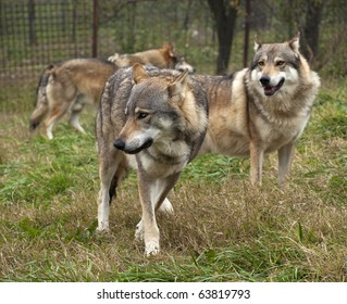 wolf serbia. The wolf (Canis lupus) is the largest species among the representatives of the genus Canis, body size varies widely, depending on the region concerned, and can amount to 60 kg in weight.