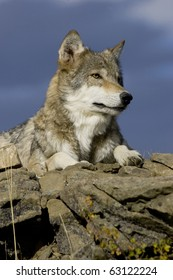 Wolf sits atop a rocky ledge