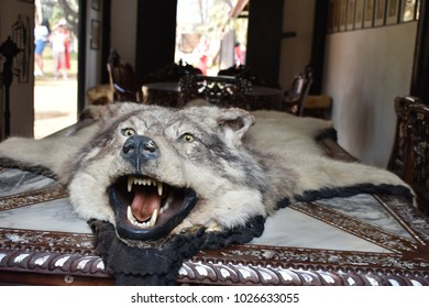 Wolf skin on an ornate table at the Black House (Baan Dam) in Chiang Rai - Thailand