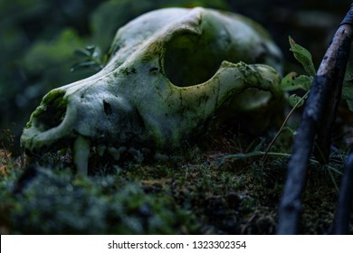 Wolf skull in the forest. Wild nature.