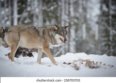 Wolf snarling, old moose carcass in the foregorund