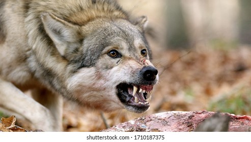 wolf snarling over its prey to protect it