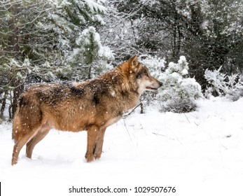 Wolf in the snow in the forest