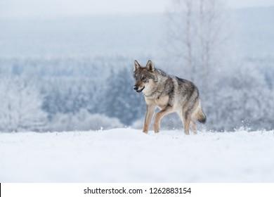 wolf in snow, wolf running in snow, winter landscape with wolf