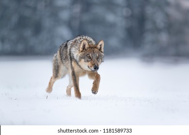 wolf in snow, stalking wolf in snow, wolf running in snow, wolf in winter